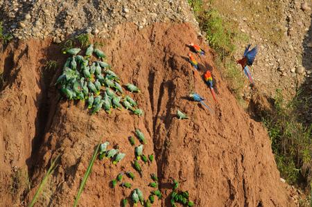 Macaws and parrots at clay lick in Tambopata National Reserve, Peru