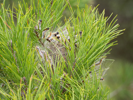 Pine processionary caterpillars in Ria Formosa national park, PorugalPine processionary caterpillars 스톡 콘텐츠