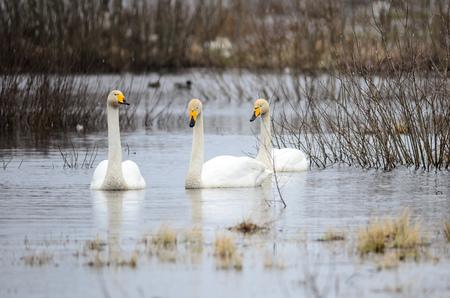 Whooper swans (Cygnus cygnus) at Lake  Hornborga, Sweden
