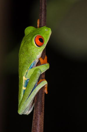 Red-eyed Tree Frog (Agalychnis callidryas) climbing on a branch in Costa Rica