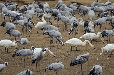 Common Crane (Grus grus) and Whooper swans (Cygnus cygnus) at Lake Hornborga, Swden Stock Photo