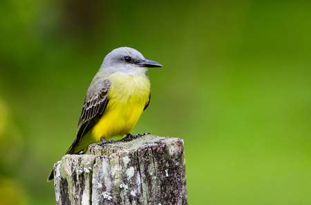 Tyrannus tyrannus stock photos royalty free tyrannus tyrannus images tropical kingbird tyrannus melancholicus la selva costa rica stock photo thecheapjerseys Gallery