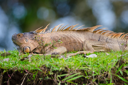 Green Iguana (Iguana Iguana) in Cano Negro Wildlife Refuge, Costa Rica