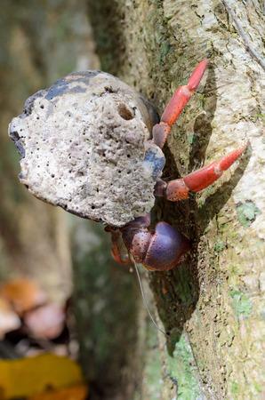 Hermit crab in Cahuita National Park, Costa Rica