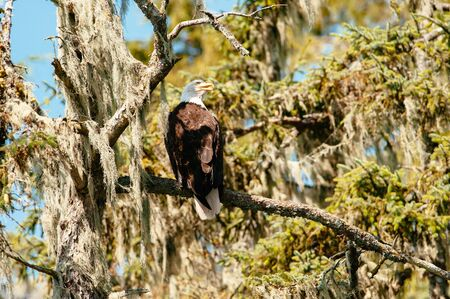 Bald Eagle (Haliaeetus leucocephalus) perching on a moss covered tree in Broughton Archipelago Provincial Park