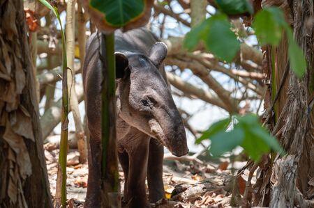 Baird's tapir (Tapirus bairdii) in Corcovado National Park, Costa Rica Stock Photo