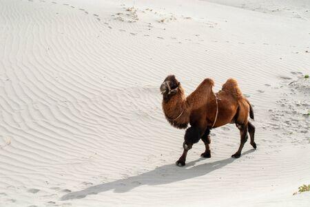Bactrian Camel in Nubra Valley, Jamu & Kashmir, Ladakh