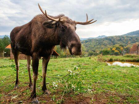 Moose (Alces alces) in captivity Reklamní fotografie