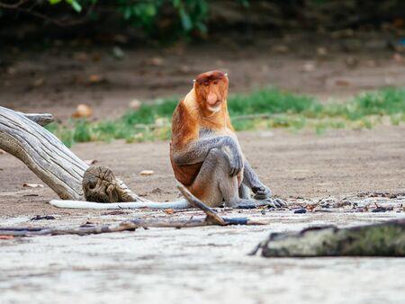 Proboscis monkey (Nasalis larvatus), Bako National Park, Sarawak, Borneo, Malaysia