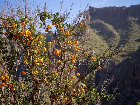 Orange tree in Masca village, Tenerife, Canary Islands, Spain