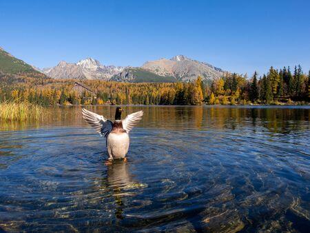 Mallard spreading wings on the lake Strbske Pleso in the National Park of High Tatras, Slovakia