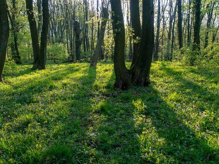 Spring in a Carpathian forest. Devinska Kobyla, Slovakia.