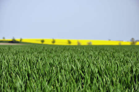green grain stalks with field in the background  Stock Photo