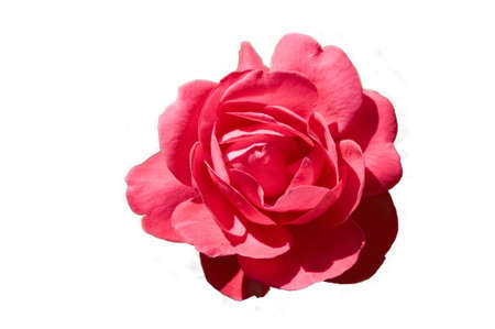 isolated pink rose on white background Stock Photo