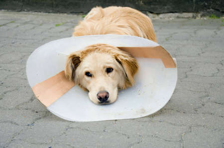 Convalescent dog with funnel after surgery