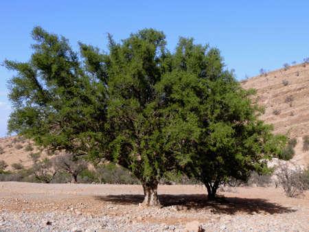 Einsamer Baum im Atlas-Gebirge, Marokko