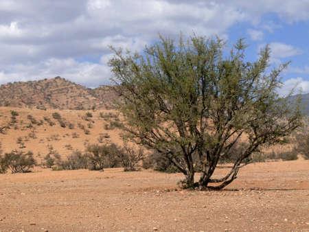 einsamer Busch im südlichen Atlasgebirge, Marokko