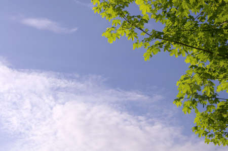 blue sky with clouds and part of a maple tree Standard-Bild