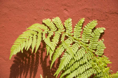 fern on a red wall Stock Photo