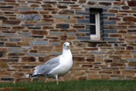 One seagul standing on the grass by a wall Stock Photo - 11712650