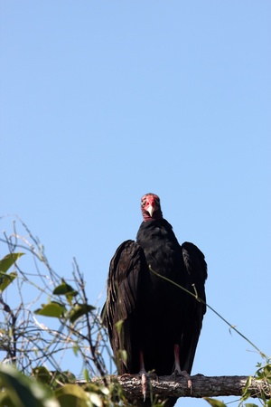 turkey vulture: A turkey vulture perched on a branch with blue sky background Stock Photo