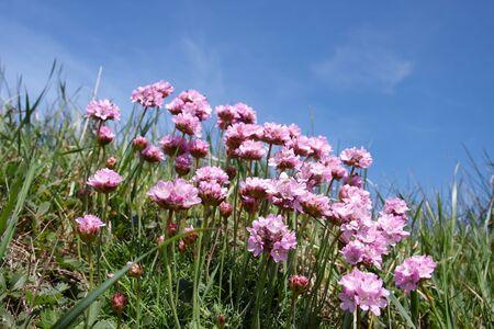 Littel pink coastal flowers with blue sky background stock photo littel pink coastal flowers with blue sky background stock photo 13639954 mightylinksfo