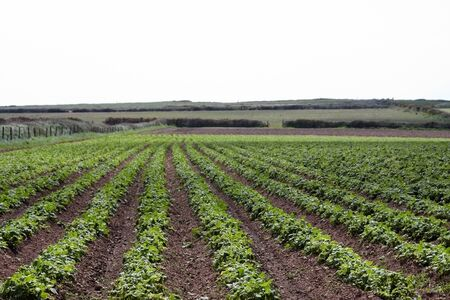 A field of rows of Pembrokeshire potato  photo