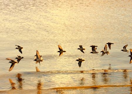 ocea: birds flying low over the golden sea Stock Photo