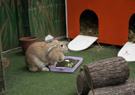 hutch: A curious little fawn rabbit in a play area Stock Photo