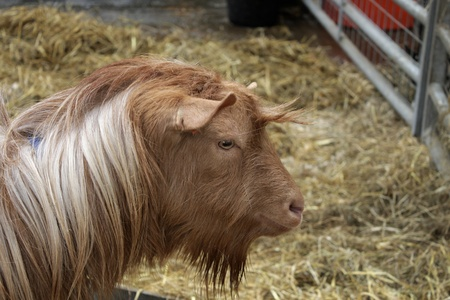 enclosure: The head of a goat in an enclosure Stock Photo