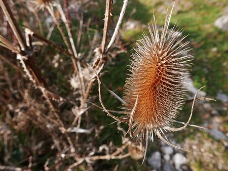 rural image of a thorny thistle
