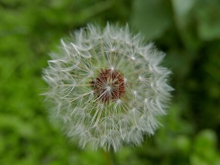 macro of a dandelion with the background of a lawn Banco de Imagens