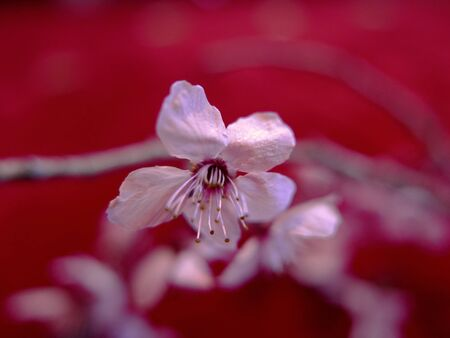 a sprig of peach tree lying on a red carpet Archivio Fotografico