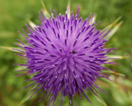 beautiful purple flower of the Thistle blooms in the meadow Archivio Fotografico