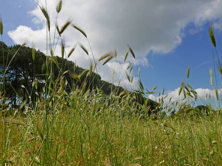 bucolic view of spikes in the wind in the countryside