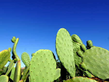sunlit catus leaves against the clear sky