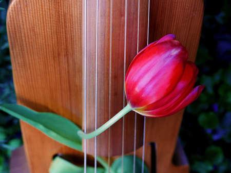 red tulip between the strings of a viola da gamba