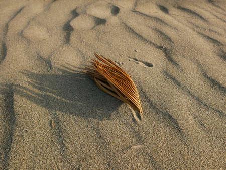scenic photo of dry needle-like leaf on the sand at the sea 版權商用圖片