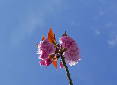 wonderful flowering branches against the blue sky in spring Stock Photo