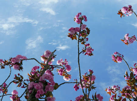 wonderful flowering branches against the blue sky in spring