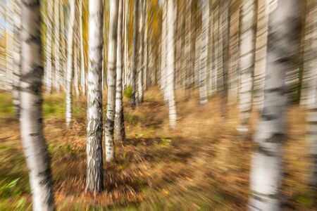 Abstract photo, birch trees in autumn photographed with different effects of motion and zoom. Colorful textured background. long shutter speed. selective focus