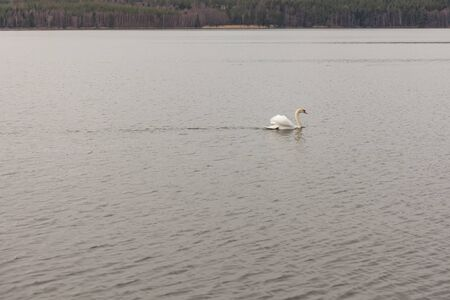 Lone swan swimming in cold lake in central sweden