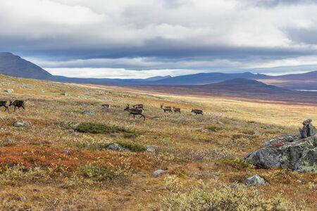 sami reindeer in autumn mountain landscape, selective focus