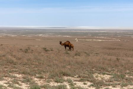 camels in the Ustyurt Plateau. District of Boszhir. The bottom of a dry ocean Tethys. Kazakhstan 版權商用圖片