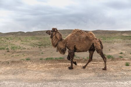 camels in the Ustyurt Plateau. District of Boszhir. The bottom of a dry ocean Tethys. Kazakhstan