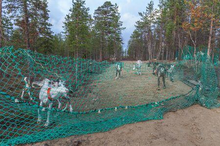 Barrier net to prevent reindeer from passing. Sami, saami village on the Kola Peninsula, Russia. Tourist ethnographic parking. Settlement Old Titovka, Murmansk region Standard-Bild