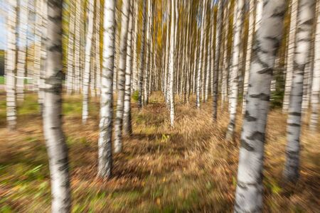 Abstract photo, birch trees in autumn photographed with different effects of motion and zoom. Colorful textured background, long shutter speed, selective focus