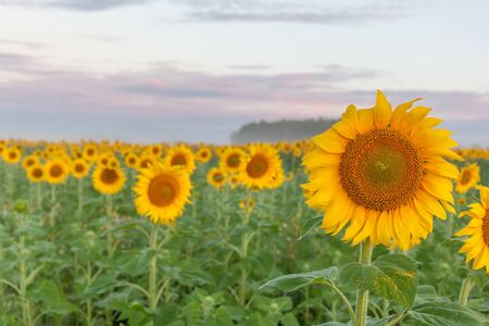 Sunrise over the field of sunflowers against a cloudy sky. Beautiful summer landscape. selective focus