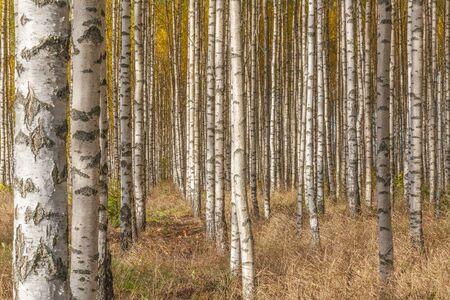 Birch forest. Birch Grove. White birch trunks. Autumn sunny forest. Sweden, selective focus Standard-Bild