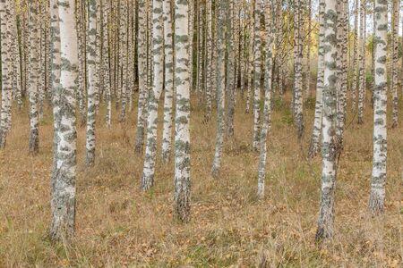 Birch forest. Birch Grove. White birch trunks. Autumn sunny forest. Sweden, selective focus Stock fotó
